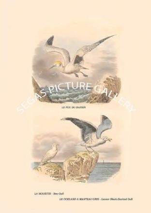 , Sea-Gull, Lesser Black-Backed Gull